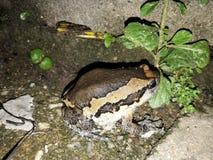 bullfrog Foto de archivo libre de regalías