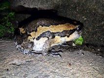 bullfrog Fotografía de archivo