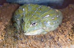 bullfrog afrykańskiej Obraz Stock