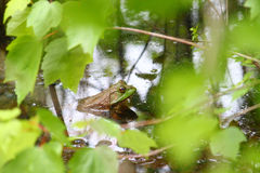 Bullfrog Alabama Wildlife Royalty Free Stock Photography