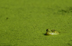 Bullfrog & Algae. A Bullfrog in a pond covered with algae stock photo