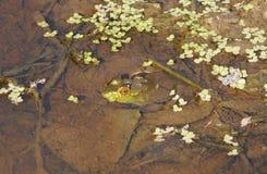 Bullfrog & Algae Stock Image