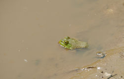 Bullfrog Stock Photos