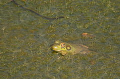 Bullfrog. American bullfrog sitting on the top of the breeding pond stock images