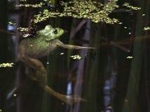 Bullfrog. American Bullfrog suspended in pond water royalty free stock photo