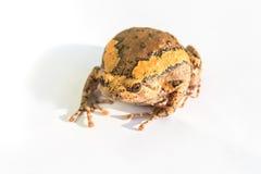 Bullfrog. Asian bullfrog on white background stock photography