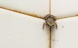 Bullfrog in bathroom Stock Photography