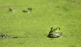 bullfrog brazos загиба Стоковые Фотографии RF