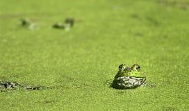 Bullfrog at Brazos Bend. Bullfrog (Rana catesbeiana) shot at Brazos Bend State Park, Texas, near Houston Royalty Free Stock Photos