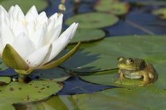 Bullfrog bredvid en näckros Arkivbilder