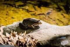 Bullfrog brzeg jeziora Zdjęcia Royalty Free