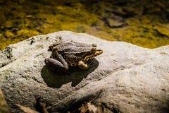 Bullfrog brzeg jeziora Zdjęcie Stock