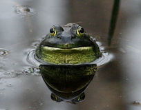 Bullfrog with Bug Waits in Pond. A patient bullfrog waits for the right moment to catch and eat the bug sitting on his head royalty free stock photo