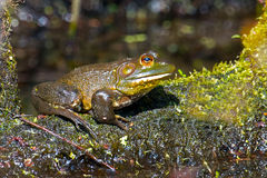 Bullfrog Royalty Free Stock Image