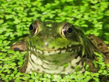 Bullfrog. Relaxing in the pond stock image