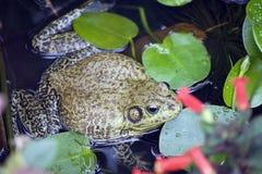 Bullfrog ή catesbeiana Rana Στοκ φωτογραφία με δικαίωμα ελεύθερης χρήσης