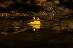 Bullfrog Croaking in a pond. Bullfrog croaking loudly on a dark pond surface royalty free stock photography