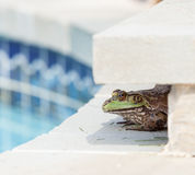 Bullfrog crouching under edge of pool Stock Photography