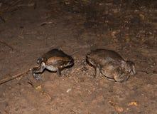 Bullfrog eating insects. A Bullfrog eating insects on sand stock image