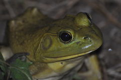 Bullfrog. On evening up close photographing a bullfrog hiding in the grass Royalty Free Stock Photo