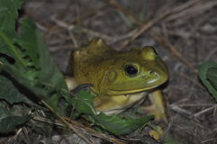 Bullfrog. On evening up close photographing a bullfrog hiding in the grass Stock Images