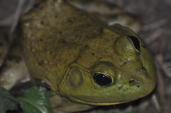 Bullfrog. On evening up close photographing a bullfrog hiding in the grass Stock Photo