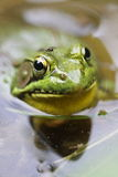 Bullfrog with Fly Royalty Free Stock Image
