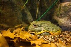 bullfrog gigant Zdjęcia Stock