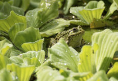 Bullfrog and green water lettuce Royalty Free Stock Photography