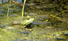 Bullfrog Hides in Algae. A female American Bullfrog (Lithobates catesbeianus) uses Algae as camouflage  in  a pond Stock Photo