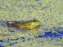 Bullfrog i damm Royaltyfria Bilder