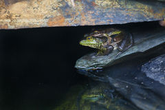Bullfrog i syn Fotografia Royalty Free