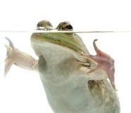 Bullfrog i vatten Arkivbild