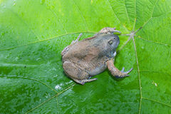Bullfrog  isolate on leaf Royalty Free Stock Images