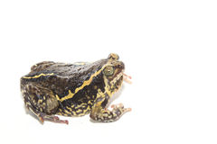 Bullfrog  isolate on white Royalty Free Stock Images
