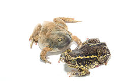 Bullfrog  isolate on white Stock Image