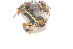 Bullfrog  isolate on white Stock Photography