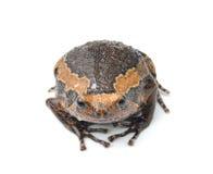 Bullfrog isolated on white background Stock Photo