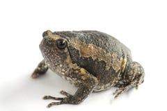 Bullfrog & x28 Kaloula pulchra& x29  απομονωμένος στο άσπρο υπόβαθρο στοκ εικόνα