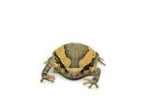 Bullfrog (Kaloula pulchra, Microhylinae) isolated on white background.  stock photo