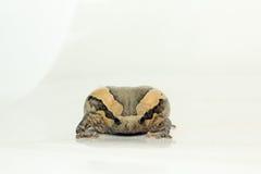 Bullfrog (Kaloula pulchra, Microhylinae) isolated on white background.  royalty free stock image