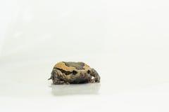Bullfrog (Kaloula pulchra, Microhylinae) isolated on white background.  royalty free stock photography