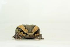 Bullfrog (Kaloula pulchra, Microhylinae) isolated on white background.  royalty free stock photo