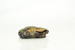 Bullfrog (Kaloula pulchra, Microhylinae) odizolowywający na białym backg Obraz Stock