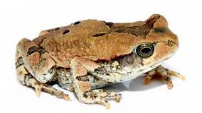 bullfrog karzeł Obraz Stock