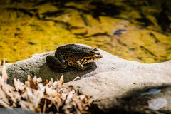 Bullfrog By The Lakeside Royalty Free Stock Photos