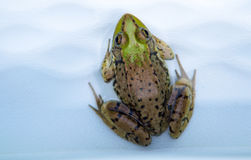 Bullfrog. A large green and brown speckled bullfrog sitting patiently awaiting its next meal to present itself when it will spring and jump into action to get stock photography