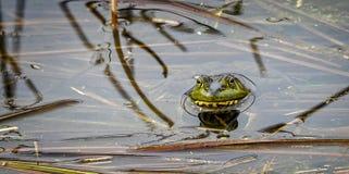 Bullfrog Stock Photos
