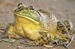 Bullfrog. Large bullfrog in southern California stock image