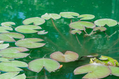 Bullfrog With Lilly Pads. Bullfrog sitting in a swamp with lilly pads stock photos